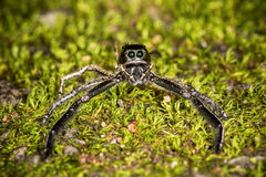 Springende Spinnen Stockfotos