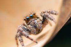 Springende Spinnen stockbild