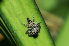 Springende Spinnen auf den Blättern stockfotografie