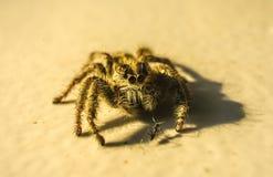 Springende Spinnentreffenameise auf dem Gebiet stockbild