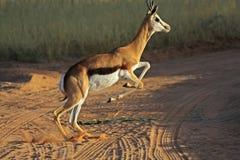 Springende springbok royalty-vrije stock afbeeldingen