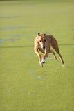 Springende Windhond Royalty-vrije Stock Afbeeldingen