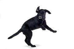 Springende zwarte hond Royalty-vrije Stock Foto's