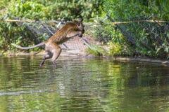 Springender Affe direkt oben Stockfotografie