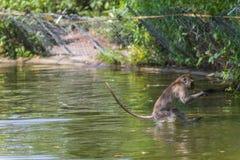 Springender Affe direkt oben Lizenzfreies Stockfoto