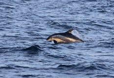 Springender atlantischer Weiß-mit Seiten versehener Delphin Stockbilder