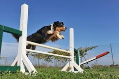 Springender australischer Schäferhund stockfoto