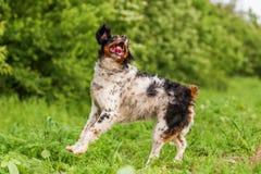 Springender Bretagne-Hund auf einem Feld stockfotos