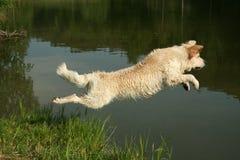 Springender goldener Apportierhund Stockfoto