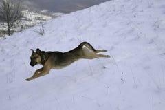 Springender Hund im Schnee Stockbilder