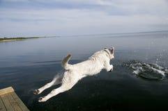 Springender Labrador-Apportierhund Stockfotos