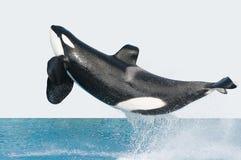 Springender Mörderwal lizenzfreie stockfotografie