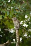 Springender Macaque-Fallhammer Stockbild