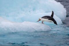 Springender Pinguin Ein Adelie u. ein x28; Adélie& x29; Pinguin taucht in Meer von einem Eisberg stockbilder