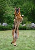Springender Schäferhund Stockfotografie
