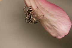 Springender Spinnenabschluß oben stockfoto