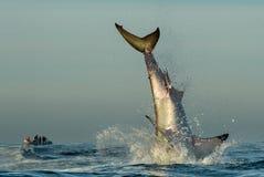 Springender Weißer Hai stockfotografie