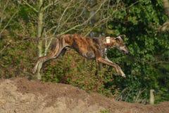 Springendes Galgo Lizenzfreies Stockfoto