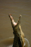 Springendes Krokodil Stockbilder