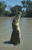 Springendes Krokodil Lizenzfreie Stockbilder