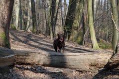 Springendes Labrador Lizenzfreie Stockfotografie