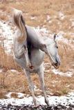 Springendes Pferd Stockbilder