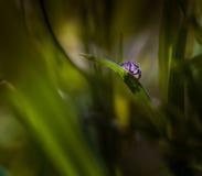 Springendes Porträt der Spinne (Salticus-scenicus) Stockbild