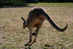 Springendes Roo Stockfoto