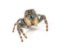 Springendes Spinne-Porträt Stockfoto