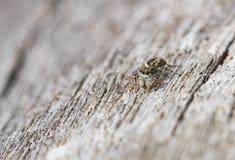 Springendes Spinne Pseudeophrys-obsoleta in der Tschechischen Republik stockfoto