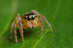 Springendes Spinnen-Makro Lizenzfreie Stockfotos