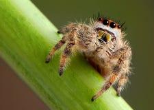 Springendes Spinnenporträt Stockfoto
