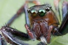 Springendes Spinnenportrait Lizenzfreie Stockfotografie