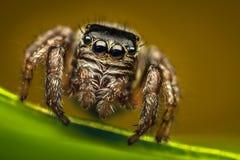 Springendes Spinnenportrait Stockbild