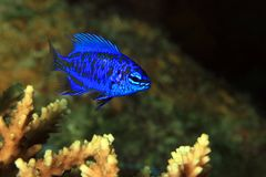 Springer's Damsel on a Coral stock photography