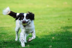 Springer dog running Royalty Free Stock Photography
