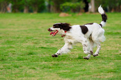 Springer dog running stock photos