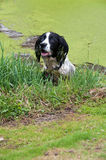 Springer playing in the garden pond Stock Photography