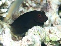 Springer's blenny. In Bohol sea, Phlippines Islands stock image