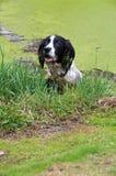 Springer som spelar i det trädgårds- dammet Arkivbild