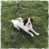 Springer spaniel Images libres de droits