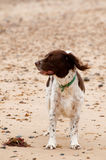 Springer spaniel Stock Photo