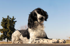 Springer spaniel. Portrait of a purebred springer spaniel outdoors stock photography