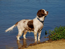 Springer Spaniel. A brown and white Springer Spaniel in the water royalty free stock images