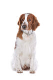 Springer Spaniel. In front of a white background royalty free stock photos
