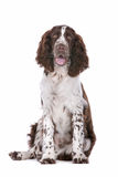 Springer Spaniel. In front of a white background stock images
