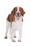 Springer Spaniel. In front of a white background royalty free stock images