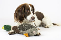 Springer Spaniel Royalty Free Stock Photos