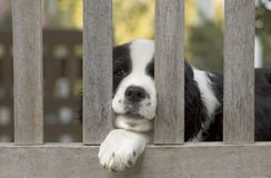 Springer Spaniel On Bench Stock Photo