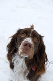 Springer spaniel dog. Young springer spaniel dog out in the snow Stock Image